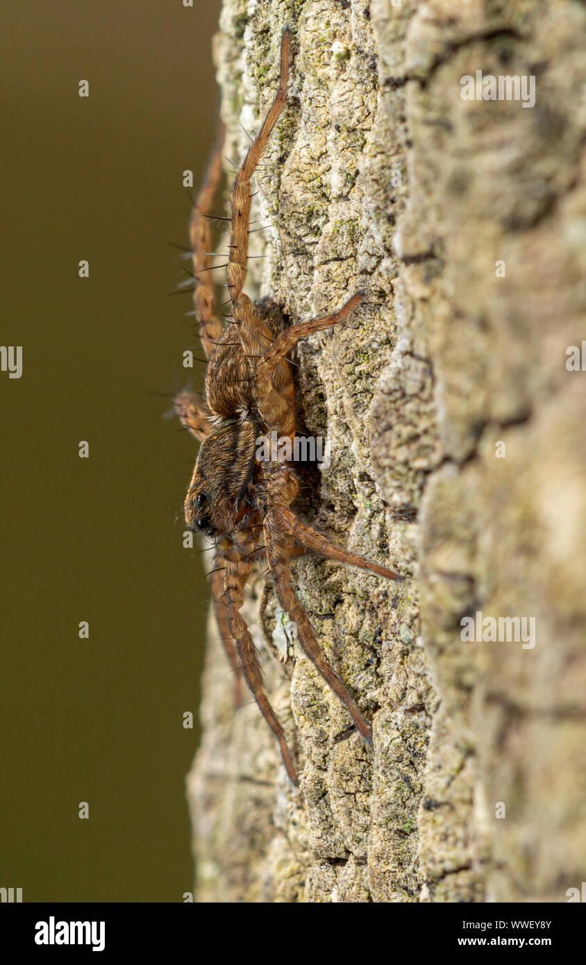 Wolf Spider (Pardosa sp.) Auf einem fencepost. Devon, UK. Stockfoto