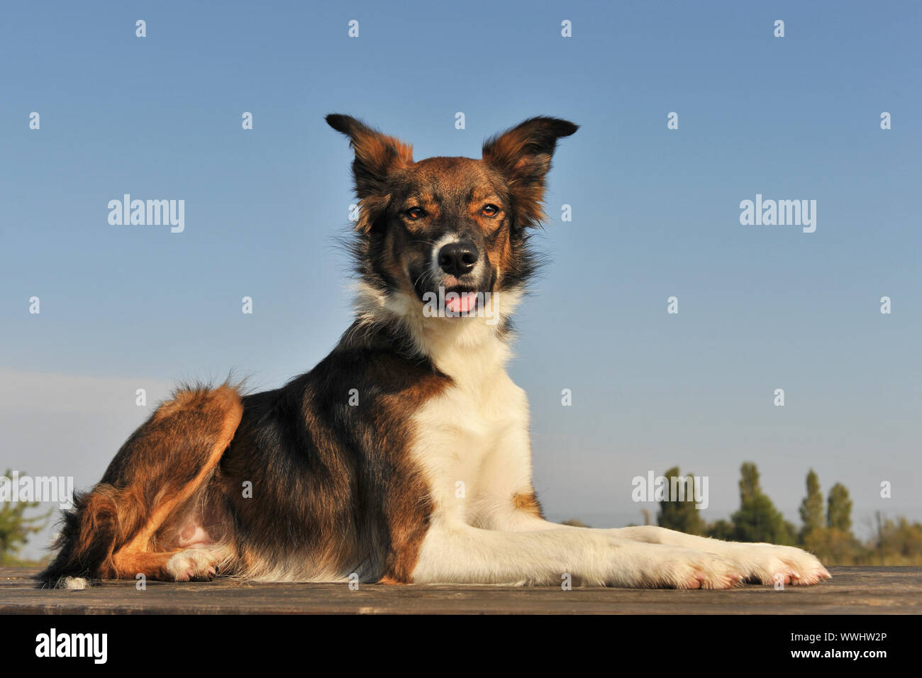 Brown Border Collie Stockfotos Und Bilder Kaufen Alamy