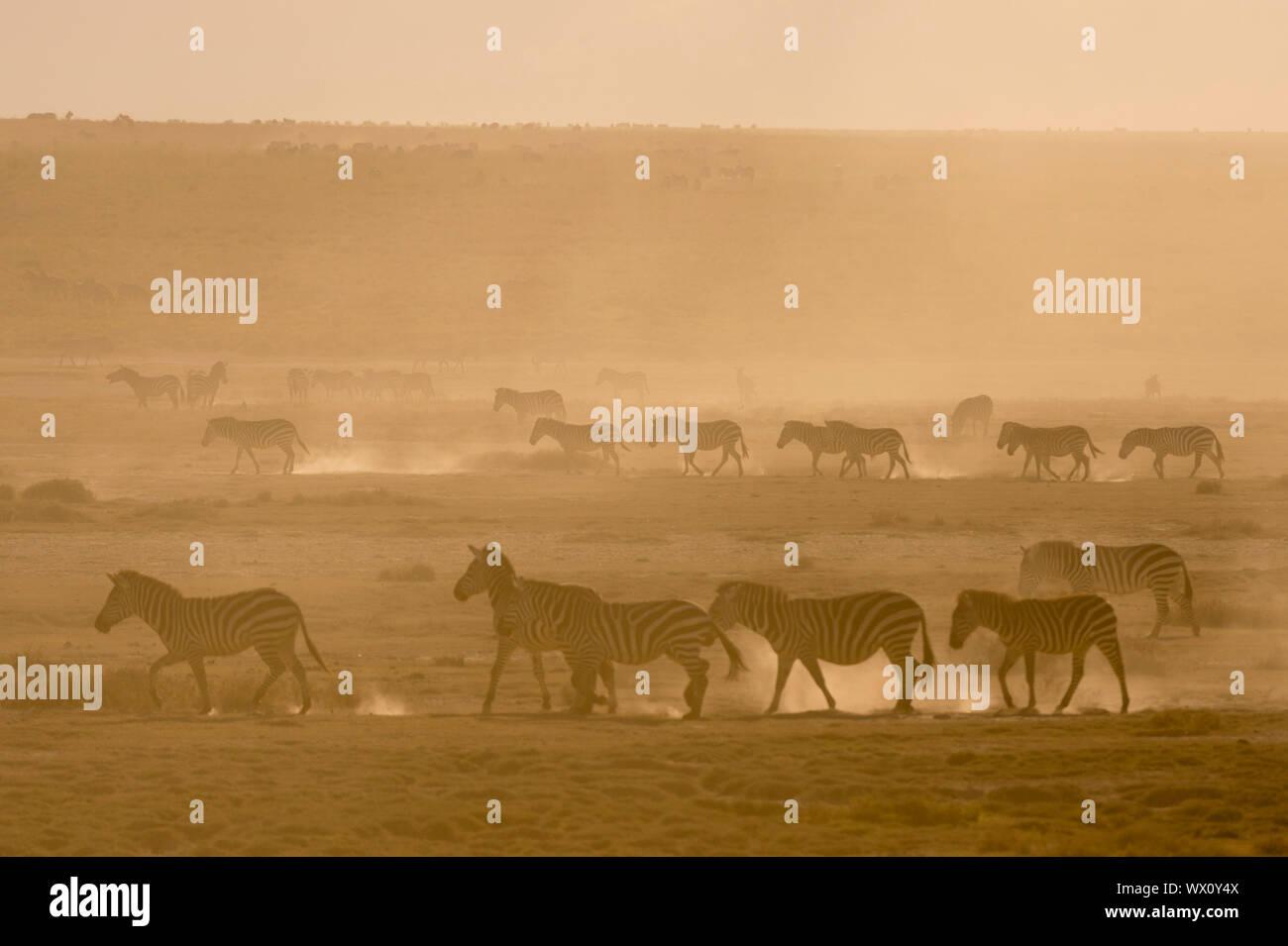 Ebenen Zebras (Equus quagga) Wandern in Staub bei Sonnenuntergang im Hidden Valley, Tansania, Ostafrika, Südafrika Stockfoto