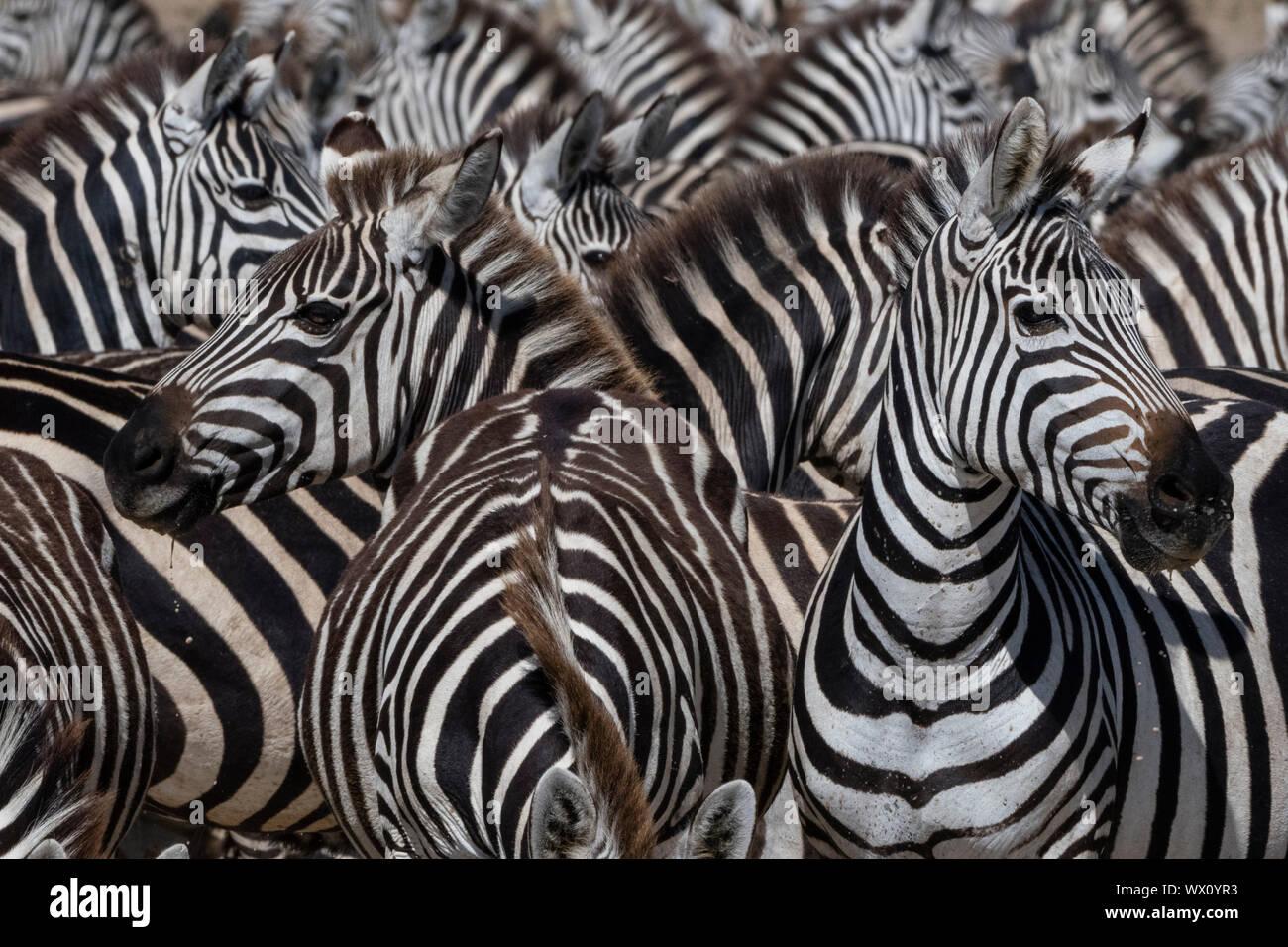 Eine Herde von ebenen Zebras (Equus quagga) im Hidden Valley, Tansania, Ostafrika, Südafrika Stockfoto