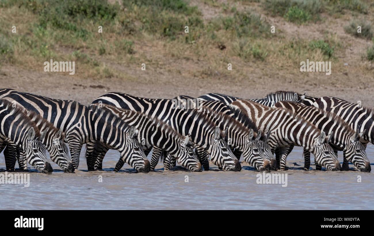 Eine Herde von ebenen Zebras (Equus quagga) trinken im Hidden Valley Lake, Tansania, Ostafrika, Südafrika Stockfoto