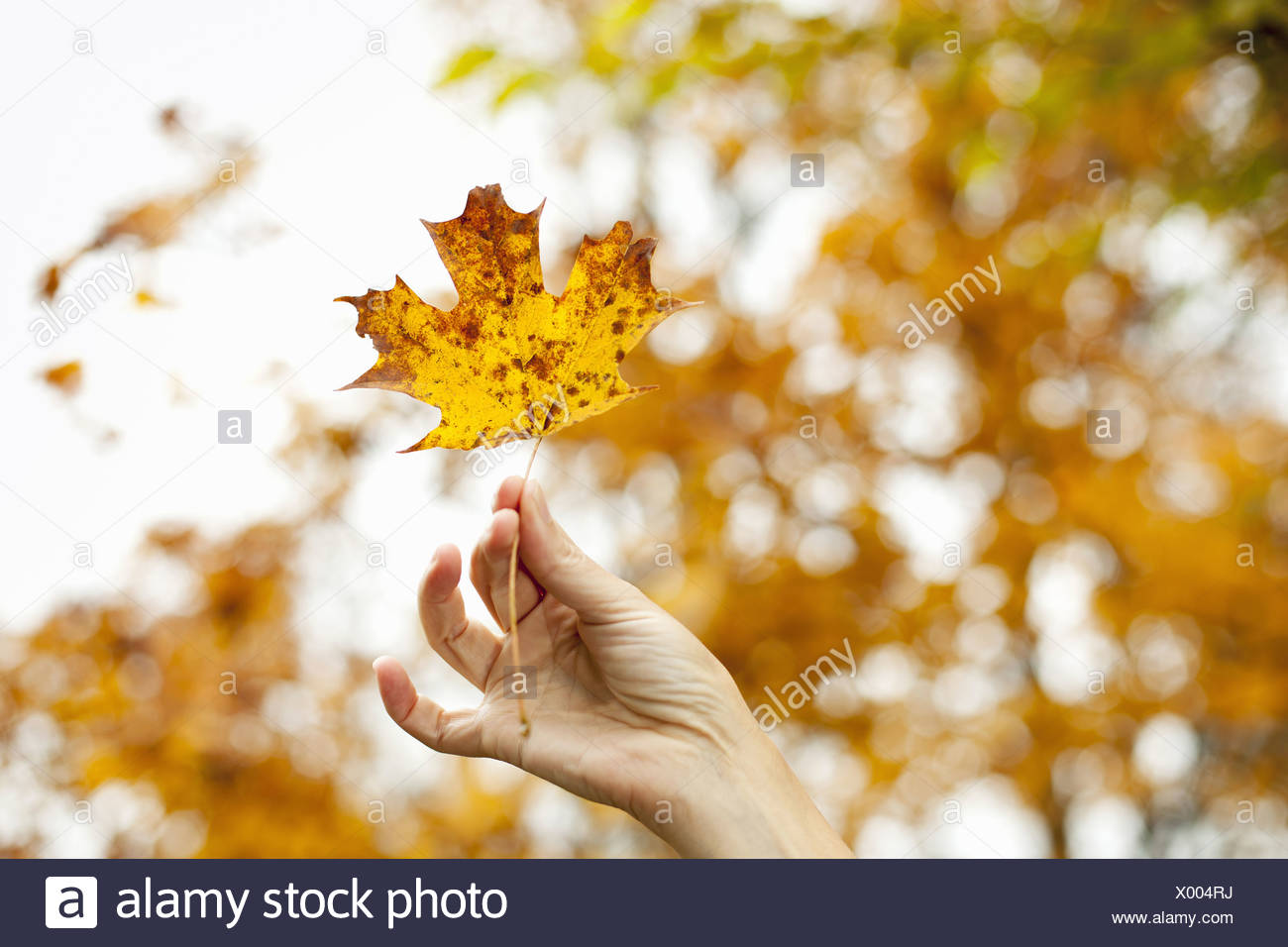 Eine Person, die Hand hält einen Herbst farbige Ahornblatt Stockbild