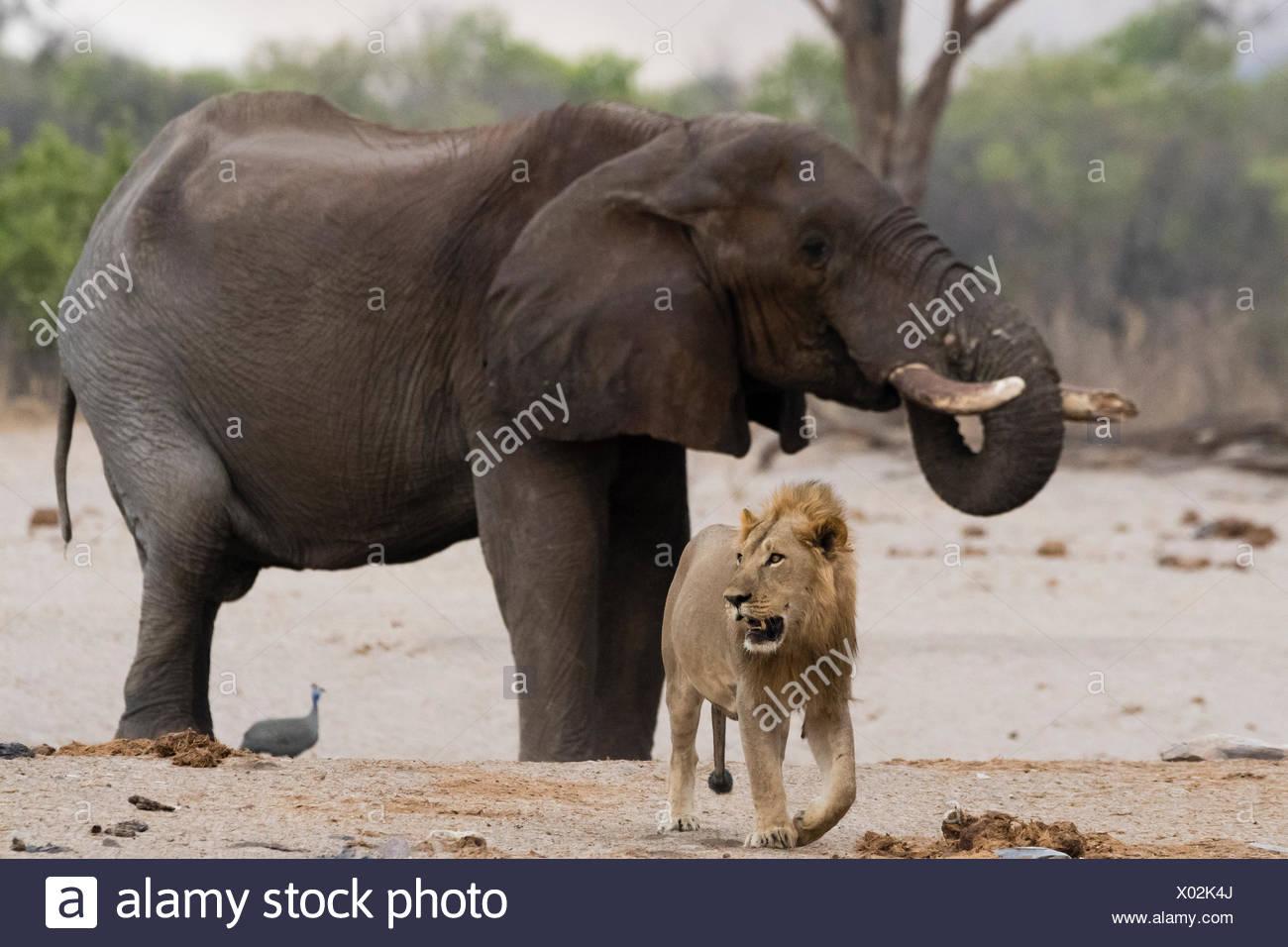 Ein männlicher Löwe, Panthera Leo, zu Fuß entfernt von einem afrikanischen Elefanten, Loxodonta Africana, trinken am Wasserloch. Stockbild