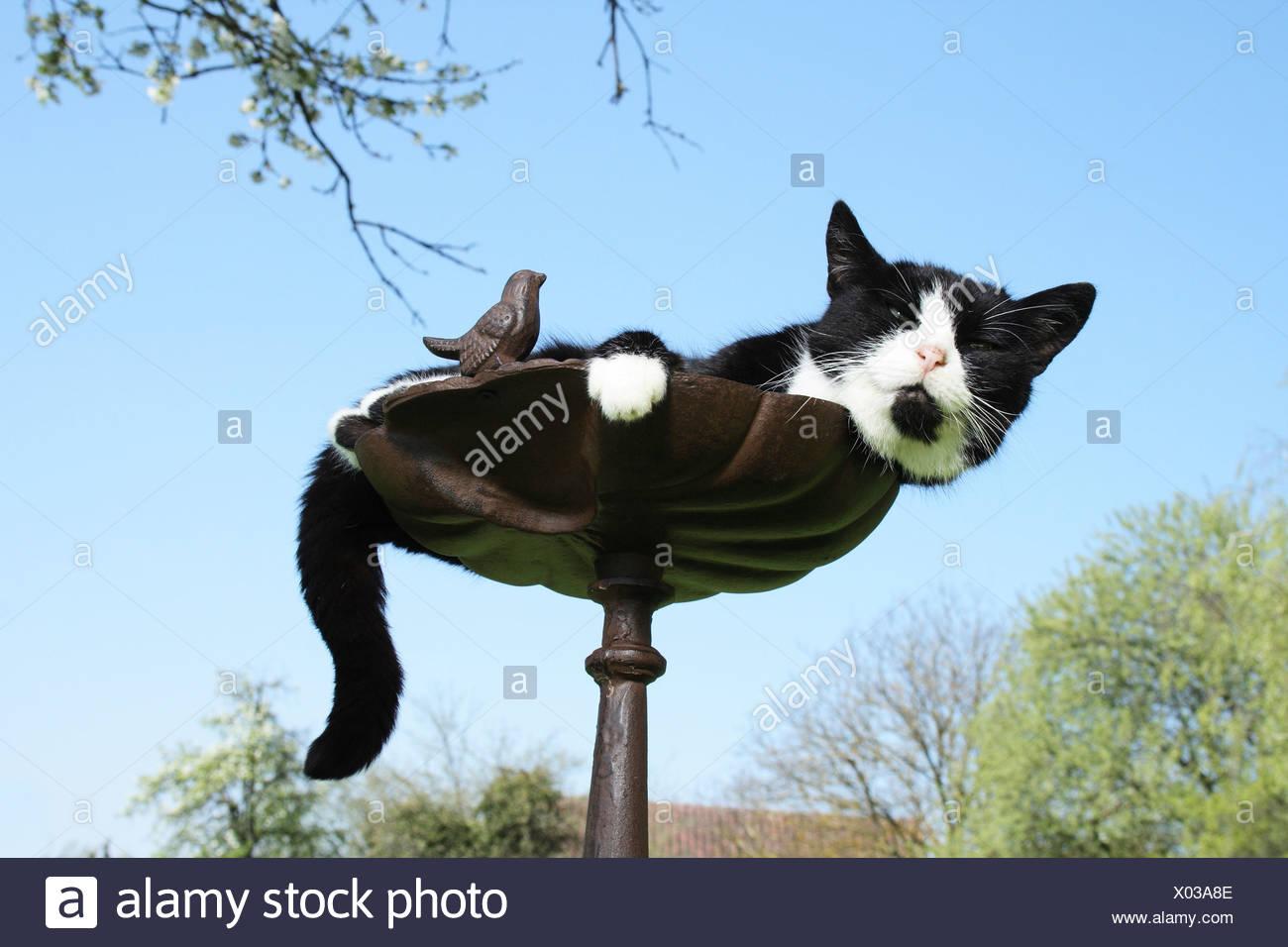 Hauskatze - liegend in eine Vogeltränke Stockfoto, Bild: 275439822 ...