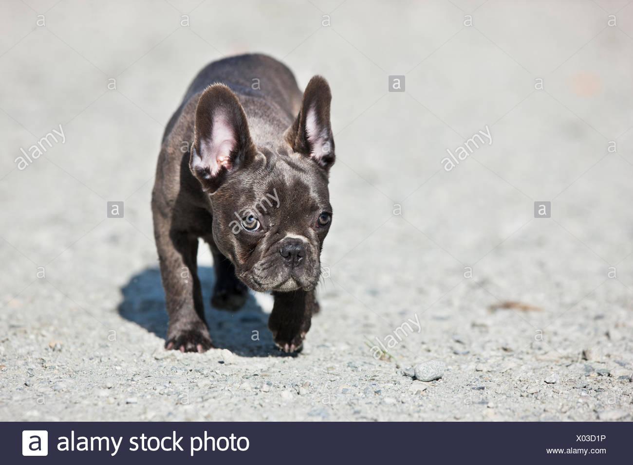 französische bulldogge österreich