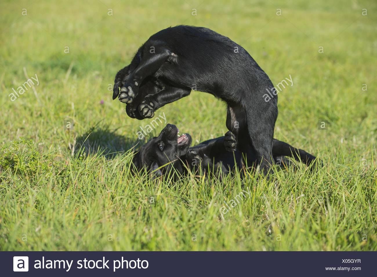 Labrador Retriever Puppy Jump Stockfotos Labrador Retriever Puppy
