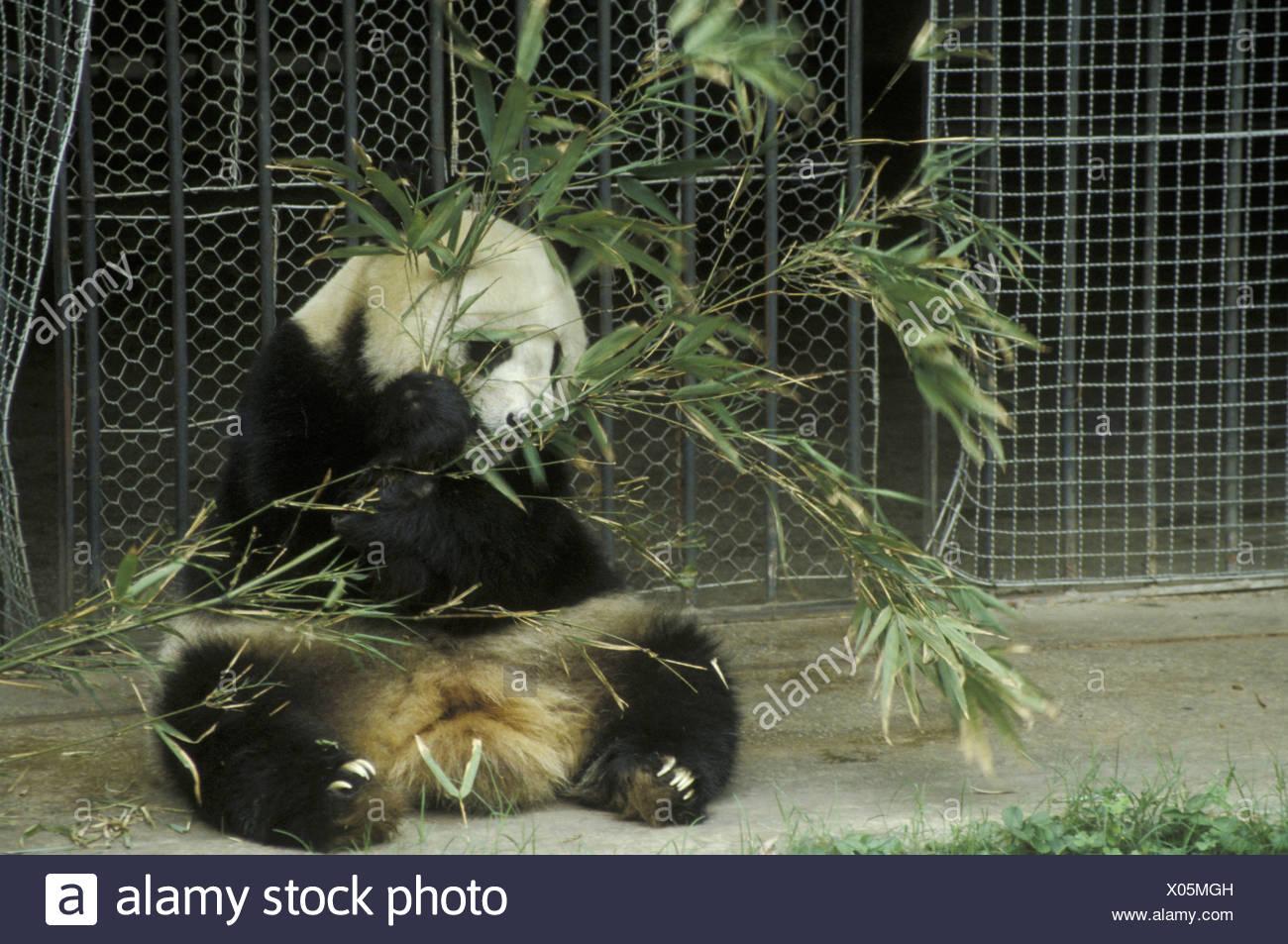 Grosser Panda Ailuropoda Melanoleuca Bambus Zoo In Guilin China