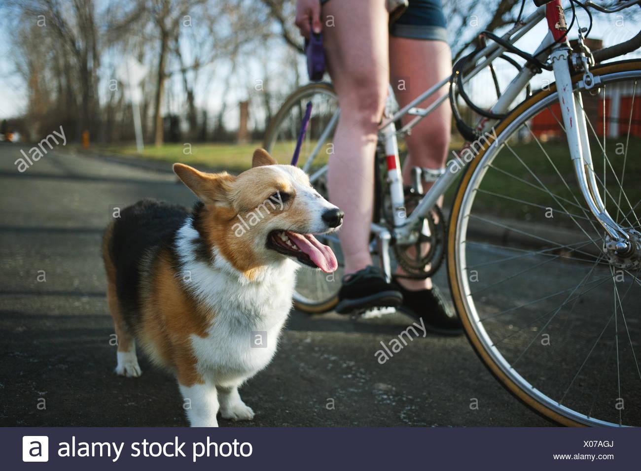 Pembroke Welsh Corgi tatenlos Seite der jungen Frau auf dem Fahrrad Stockbild