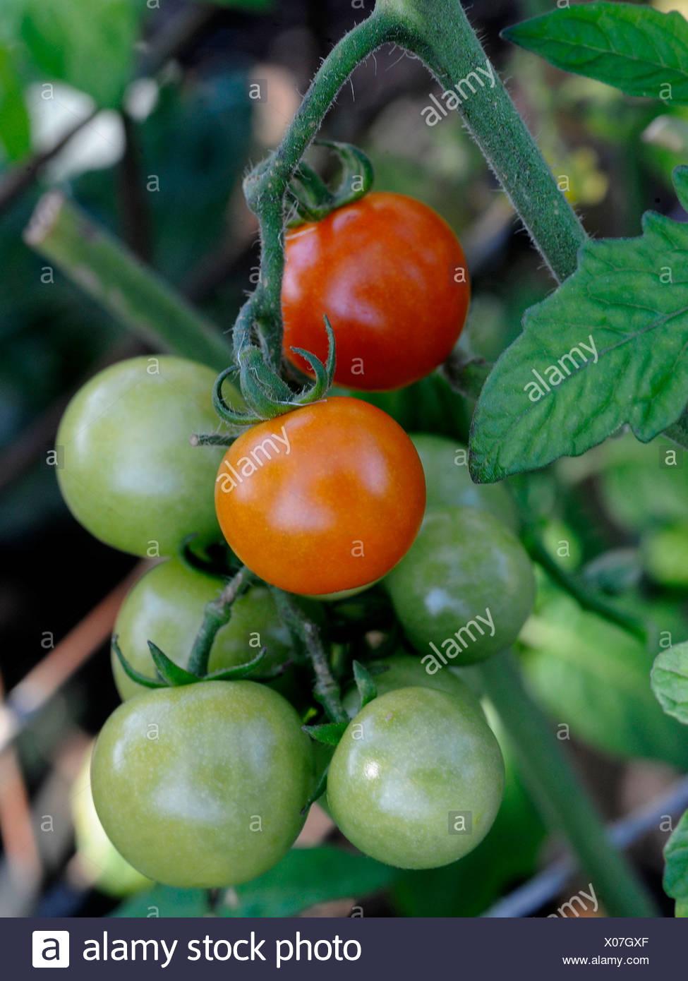 Ein Hochblatt oder Zweig des wachsenden Tomaten Stockbild