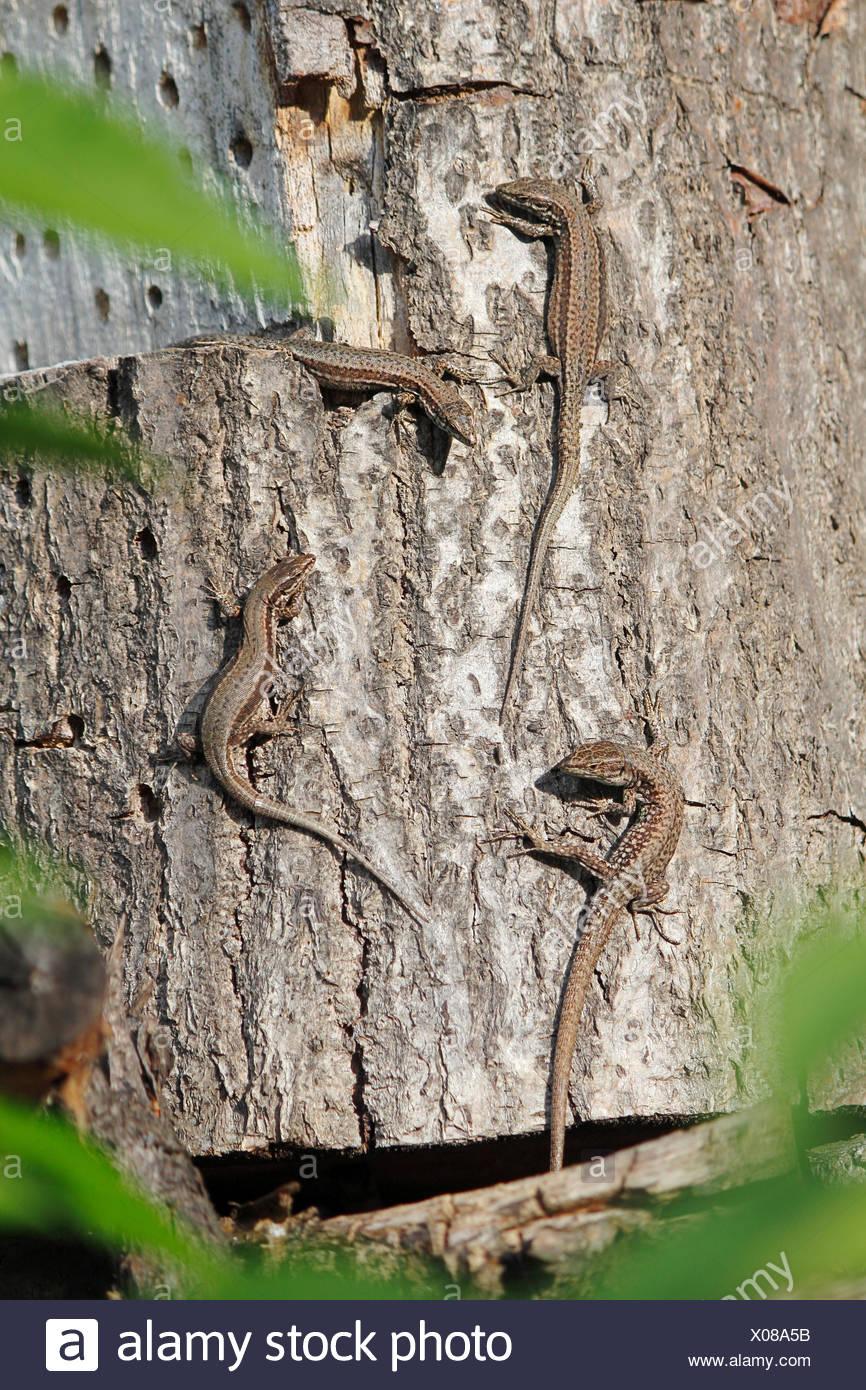 vivipare Eidechse, europäischen gemeinen Eidechse (Lacerta Vivipara, Zootoca Vivipara), vier Tiere sitzen auf einem Baumstamm zu fangen etwas Sonne, Deutschland Stockfoto