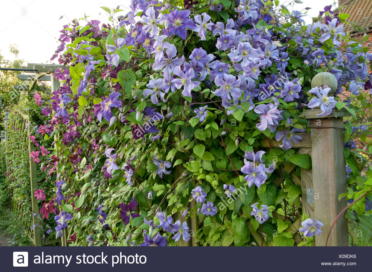 clematis prince charles stockfotos clematis prince charles bilder alamy. Black Bedroom Furniture Sets. Home Design Ideas