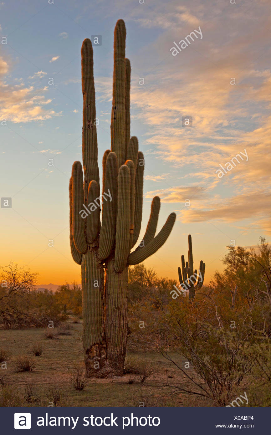 Saguaro-Kaktus (Carnegiea Gigantea, Cereus Giganteus), große individuelle Abend Licht, USA, Arizona, Phoenix Stockfoto