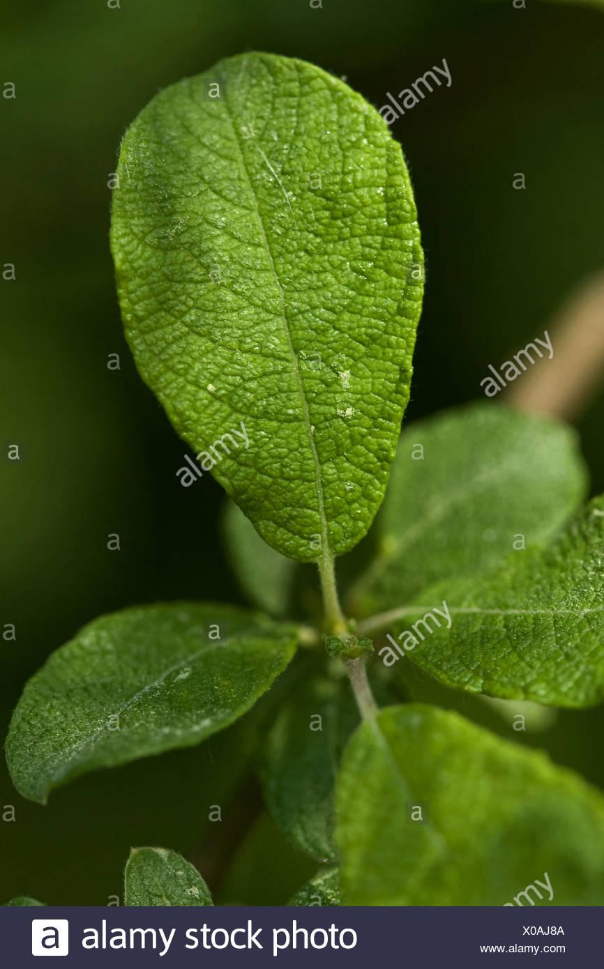eared Weide (Salix Golden), Niederlassung Deutschland Stockbild