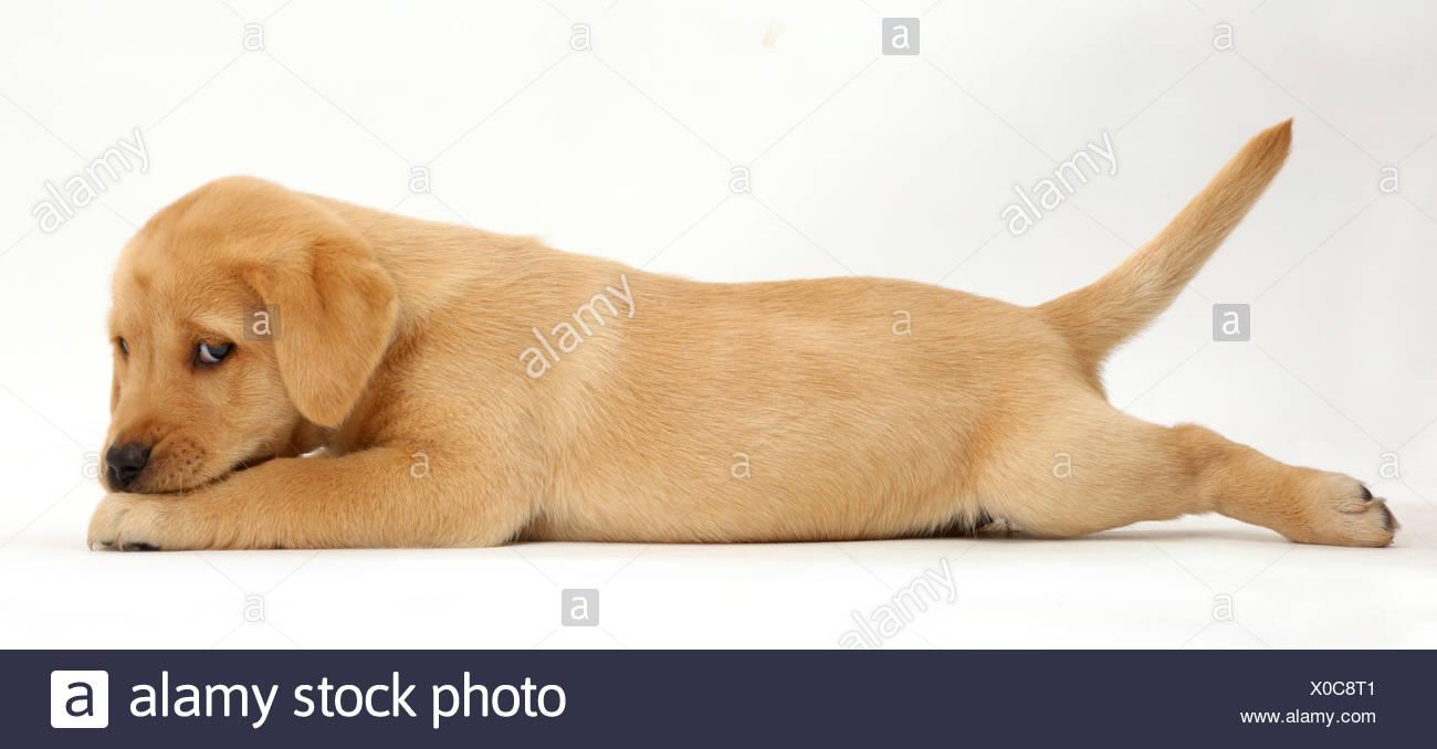 Gelben Labrador Retriever Welpen Alter 8 Wochen Liegend Mit Kinn Auf Pfoten Streckte Stockfotografie Alamy