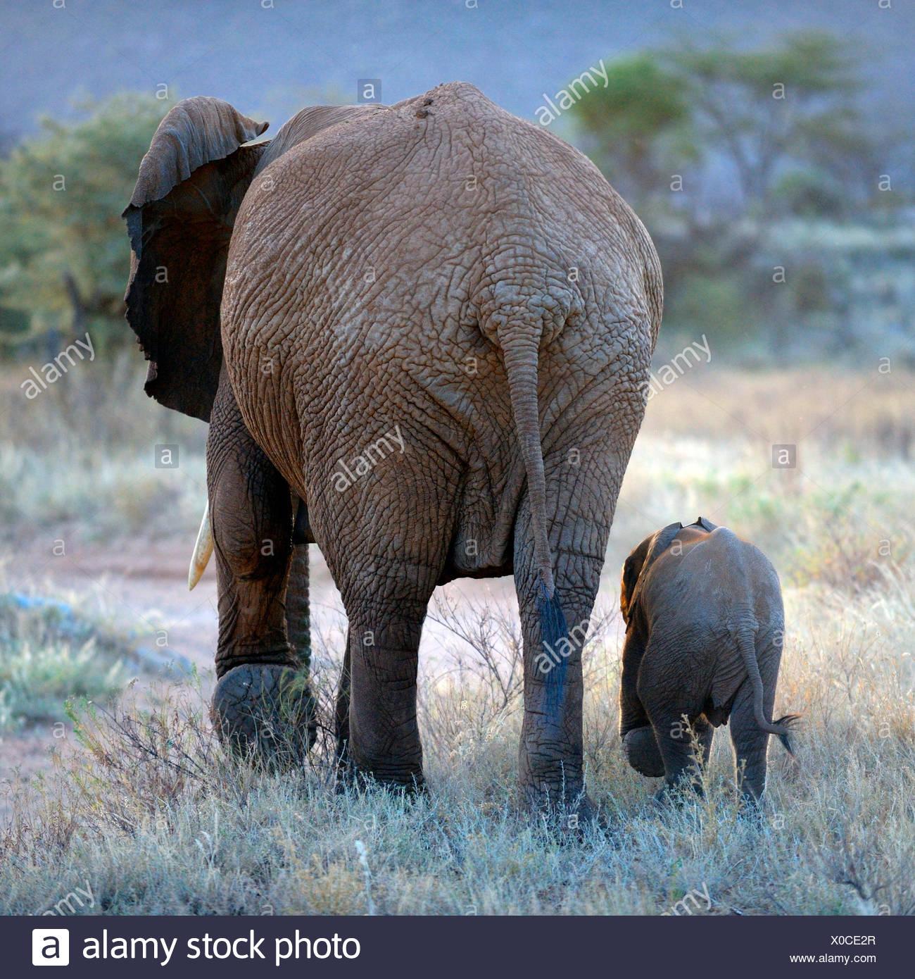 Afrikanischer Elefant (Loxodonta Africana), Rückseite Blick auf eine Frau und ihr Welpe zu Fuß Gleichschritt, Kenya, Samburu National Reserve Stockbild