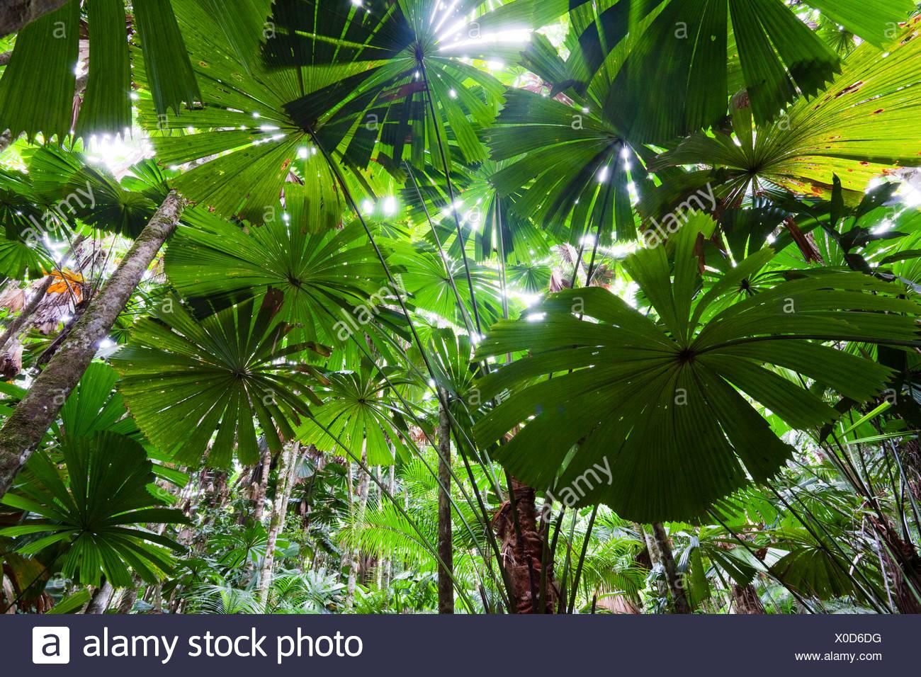 Australische Fan Palmen (Licuala Ramsayi) in den Regenwald, Daintree Nationalpark, Nord-Queensland, Australien Stockbild
