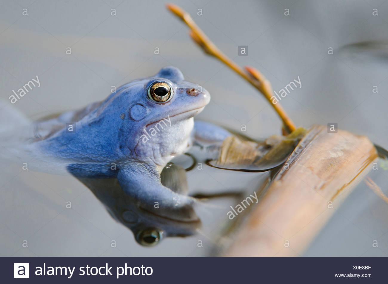 Moor-Frosch, Männchen bei der Paarung Saison, Rana Arvalis, Niedersachsen, Deutschland Stockbild
