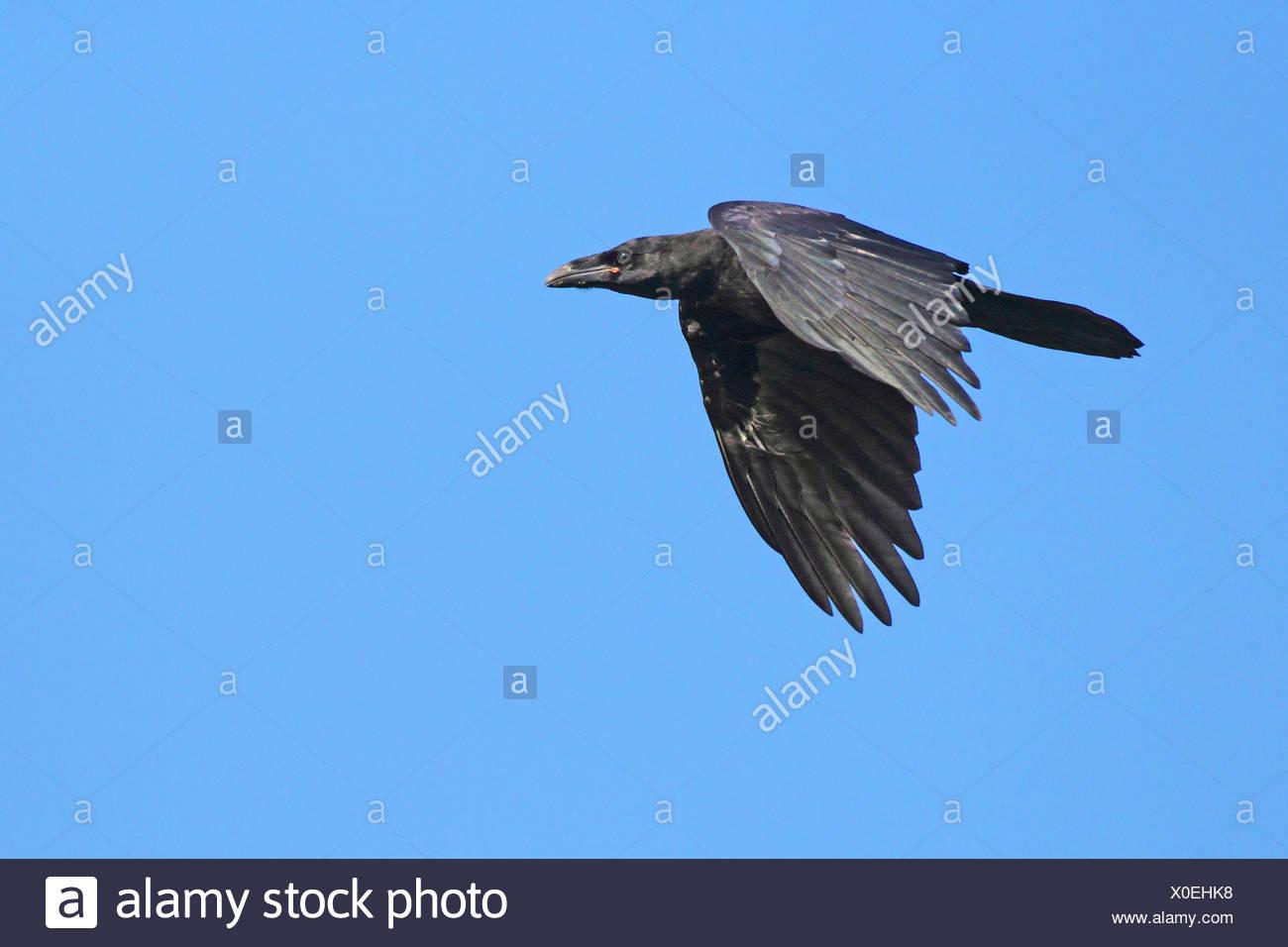 Kolkrabe (Corvus Corax) im Flug, Deutschland Stockbild