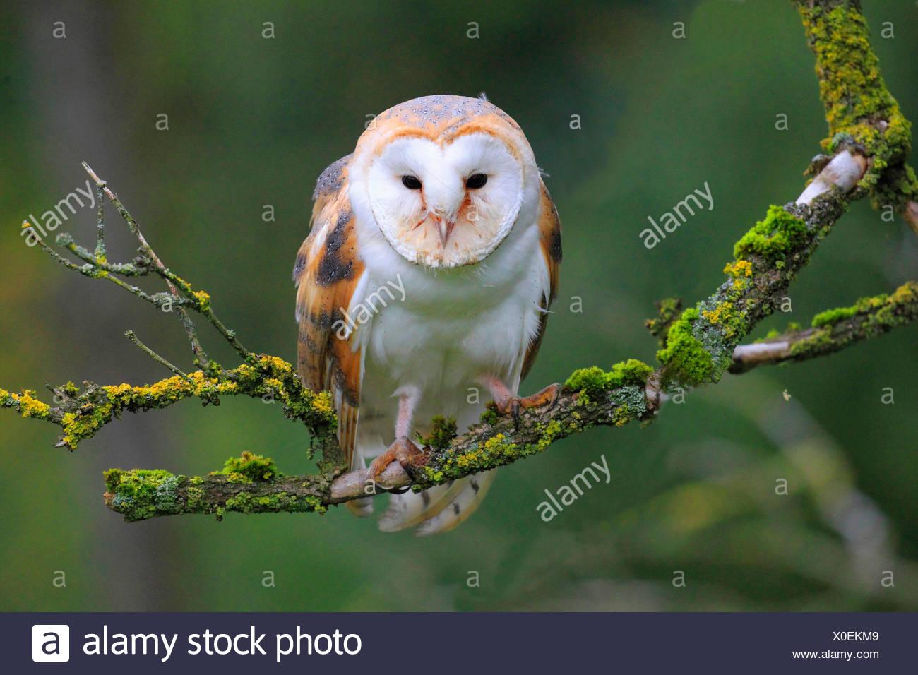 Schleiereule (Tyto Alba), sitzt auf einem Ast, Deutschland Stockbild