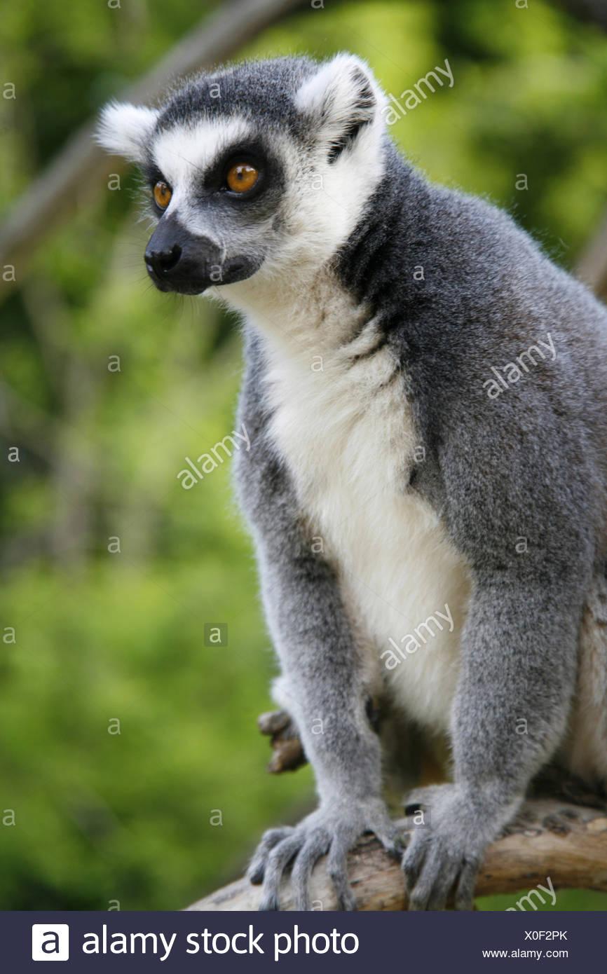 Prag, Tschechische Republik, Katta, Lemur Catta, einer, Tierwelt, Gras, Tier, Tiere, Wildtier, Wildtiere, Saeugetier, Säugetier Stockbild