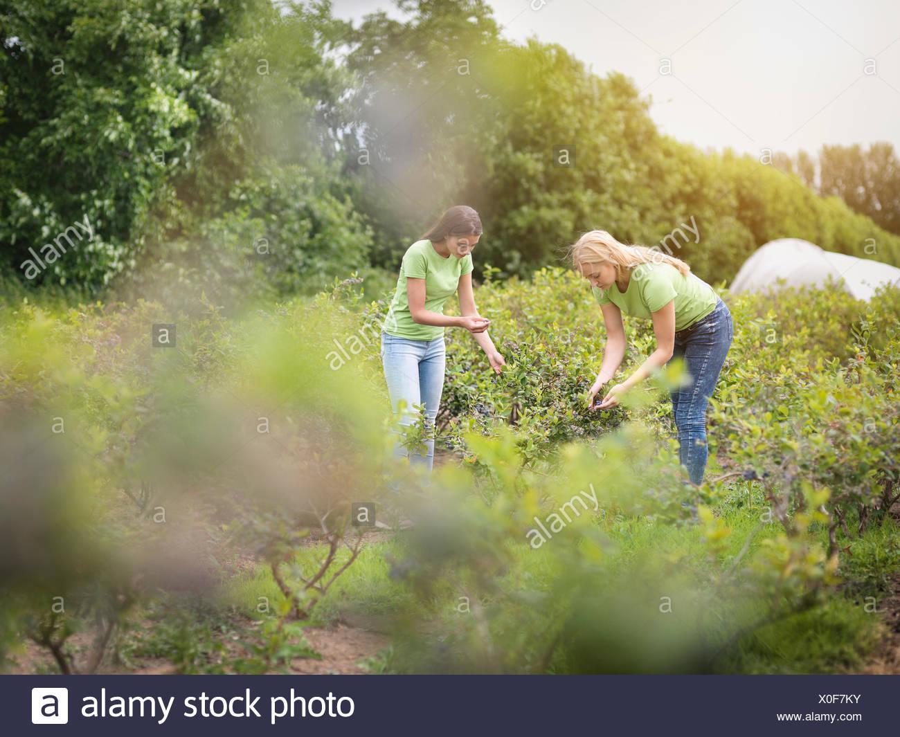 Arbeiter am Obsthof Blaubeeren pflücken Stockbild