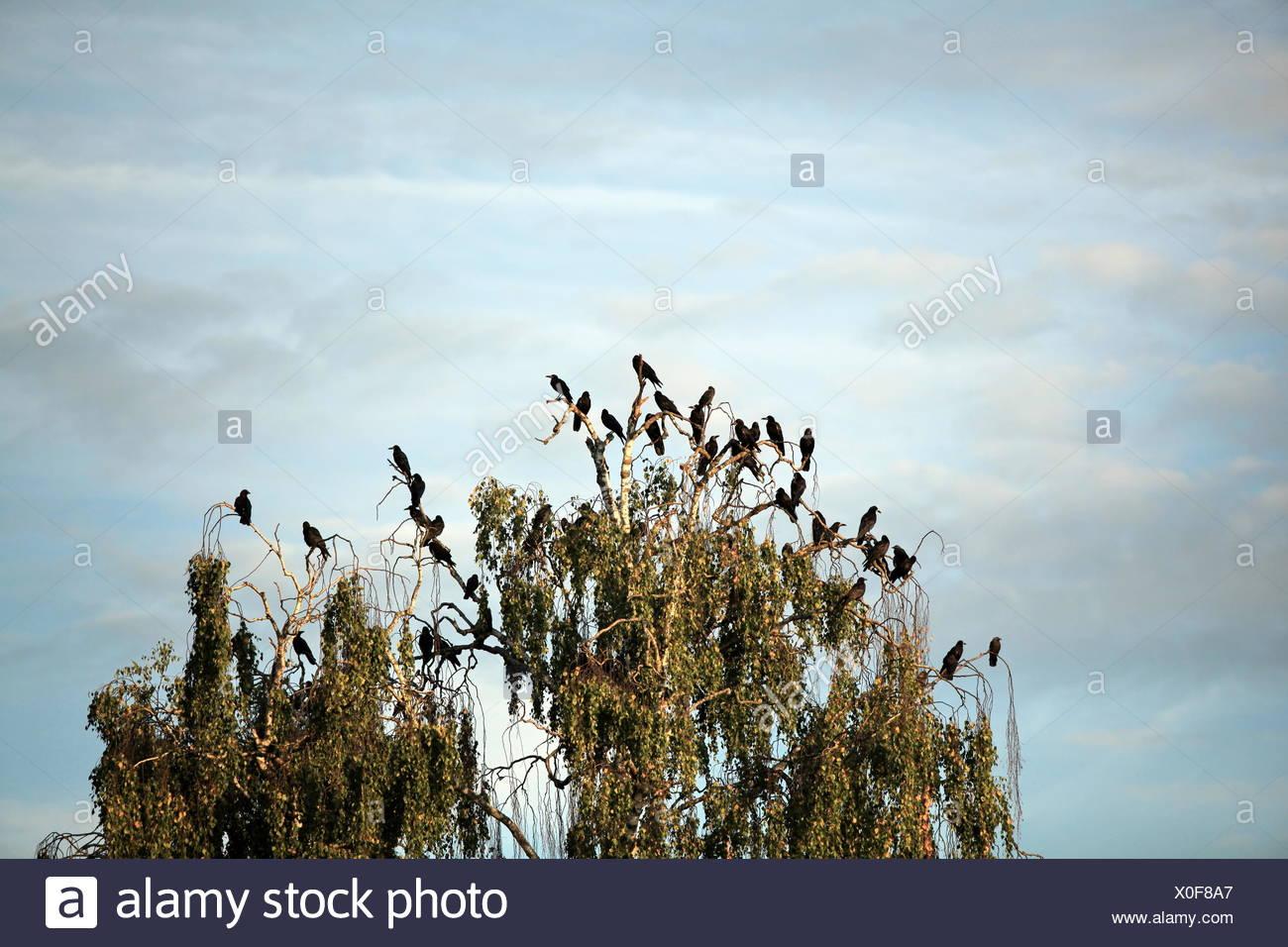 Herde von Krähen auf einem Baum Stockbild