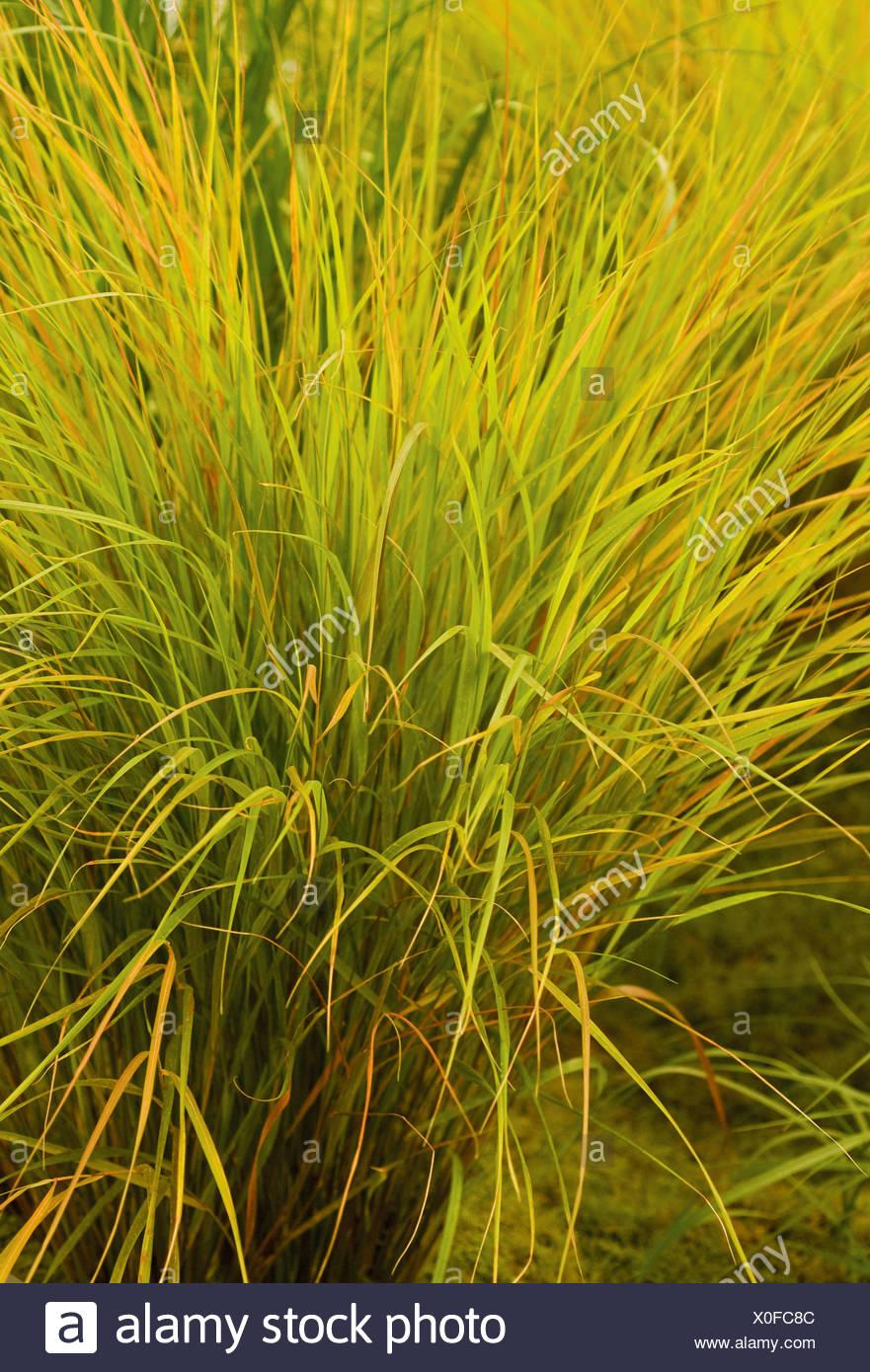 """Stipa Arundinacea """"Herbst Tönungen"""", Pheasant tail grass Stockbild"""