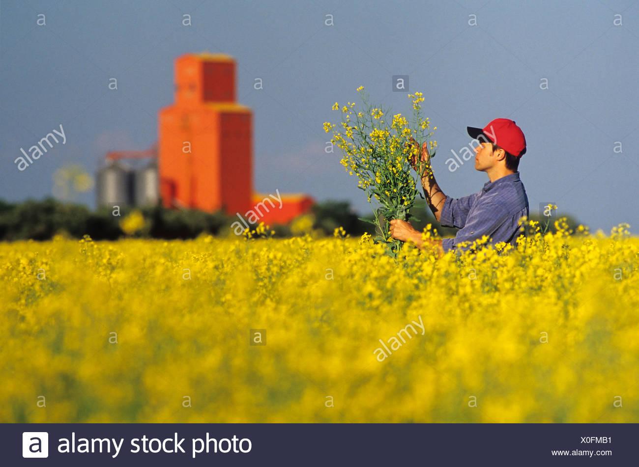 Ein Landwirt untersucht seine Blüte Bühne Raps mit Grinsen Lager im Hintergrund, Carey, Manitoba, Kanada. Stockbild