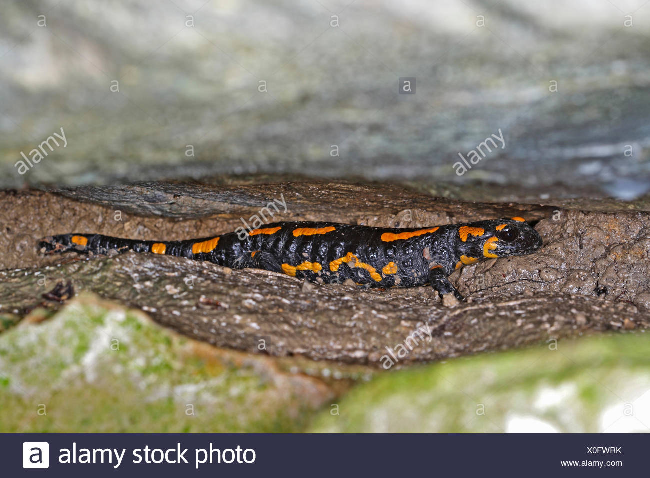 Salamanders stockfotos salamanders bilder alamy for Boden deutschland