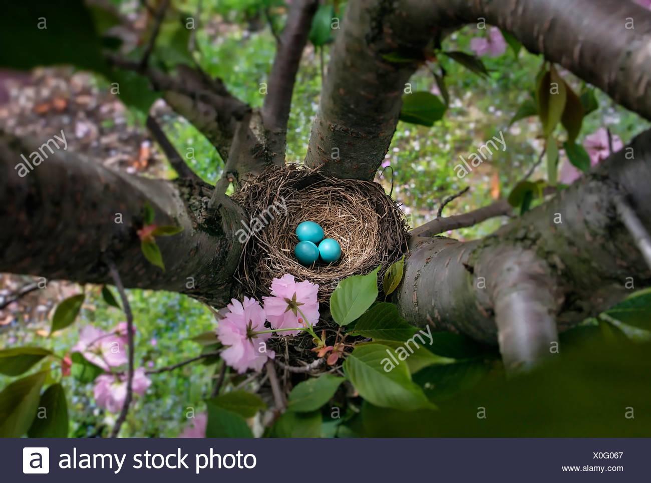 Robin's Nest Eier, Turdus migratorius Stockbild