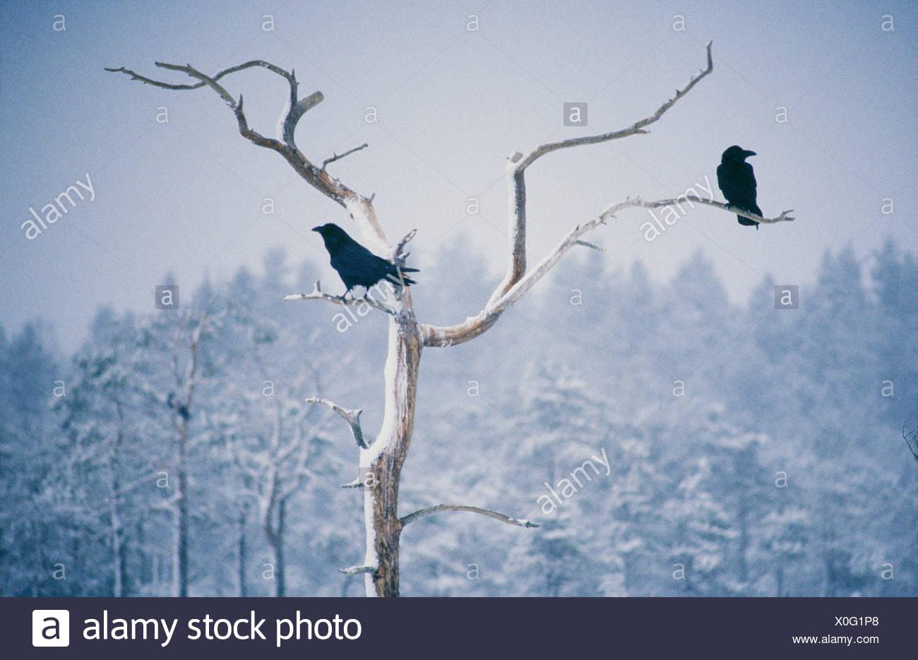 Zwei Raben hocken auf Kahler Baum Stockbild