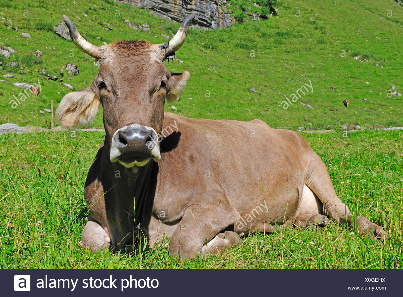 Hausrind (Bos Primigenius F. Taurus), Kuh auf der Alm, der Schweiz, Kanton Appenzell, Alpsteingebirge Stockbild