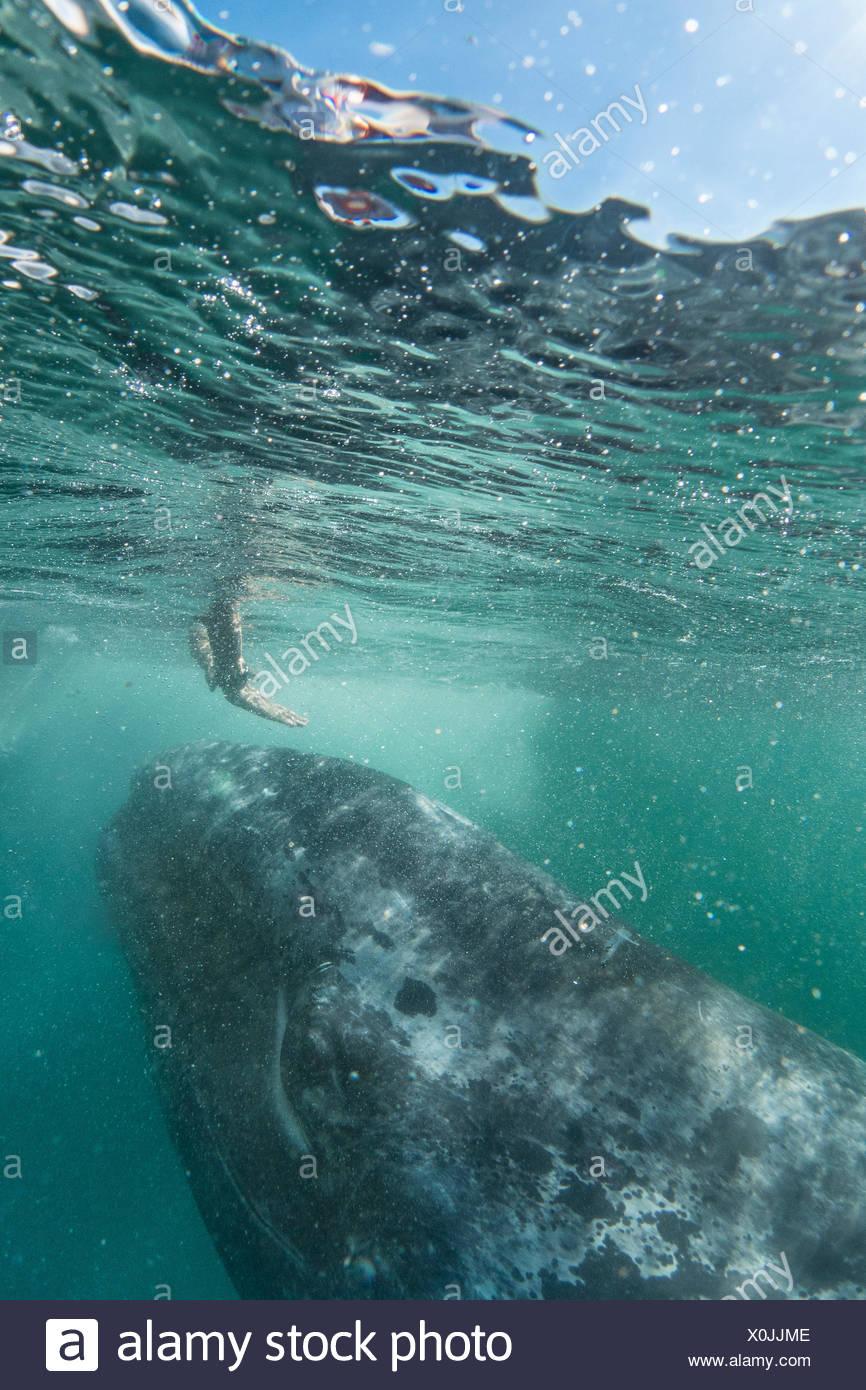 Eine Person erreicht in Richtung einer California Grauwal Eschrichtius Robustus. Stockbild