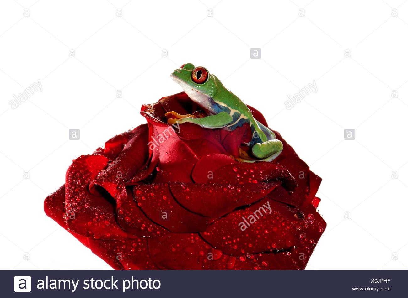 schöne beauteously schöne Blume rose Pflanze Frosch Südamerika Farbe ...