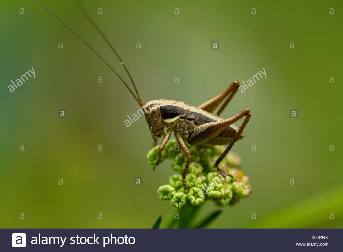 Eine Heuschrecke, Gomphocerinae, ruht auf einer Anlage. Stockbild