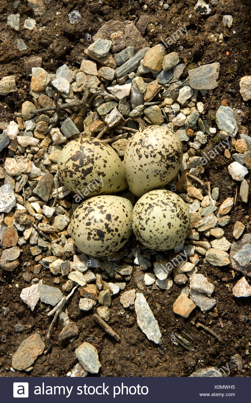 Flussregenpfeifer-Regenpfeifer (Charadrius Hiaticula), nest mit Eiern, Norwegen Stockbild