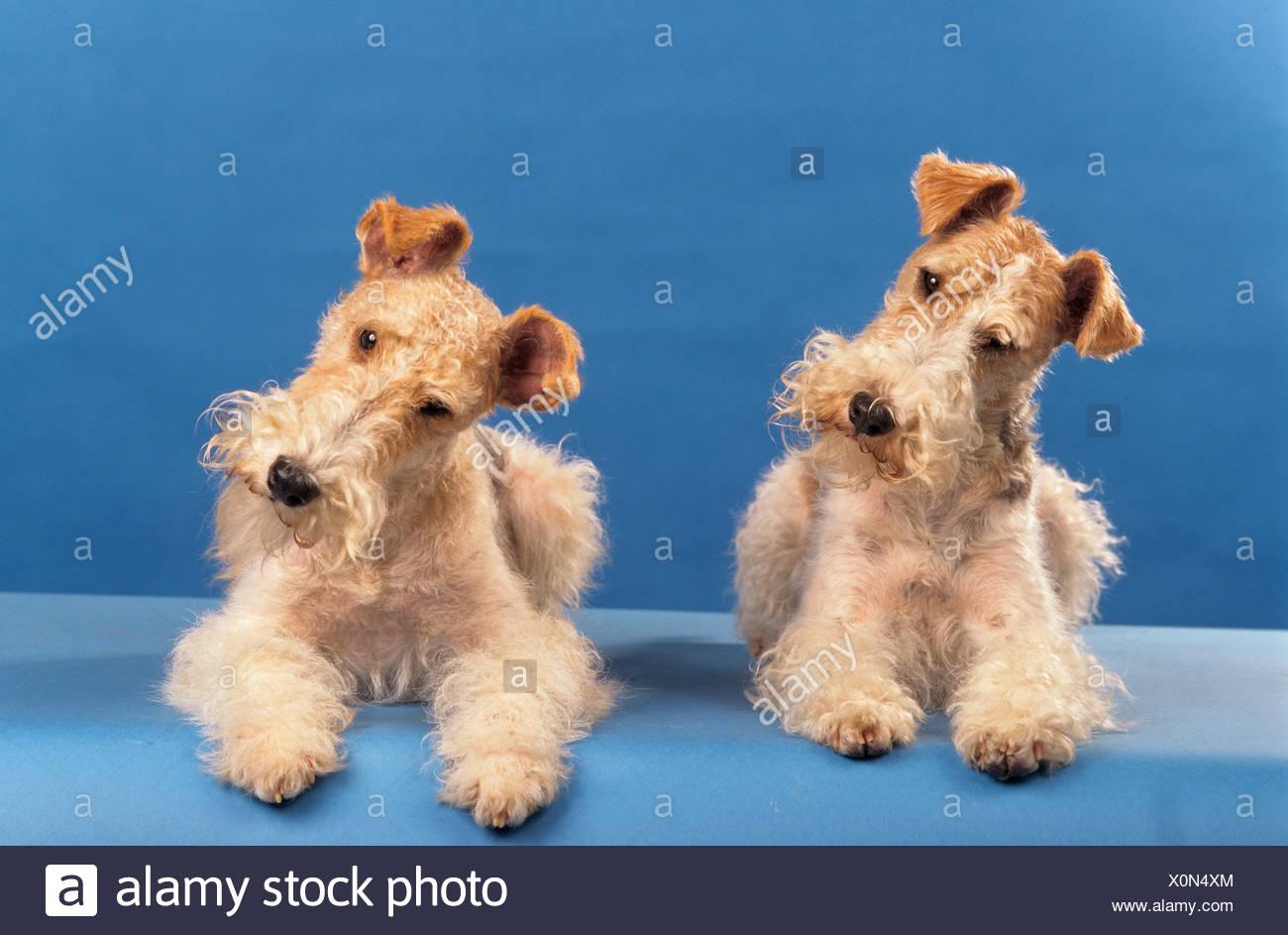 Wirehaired Fox Terrier Stockfotos & Wirehaired Fox Terrier Bilder ...