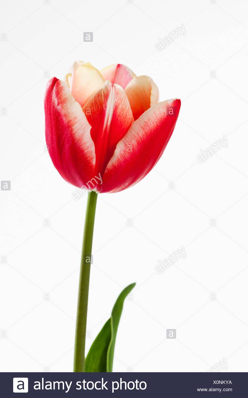 Rote und weiße Tulpe Blume vor weißem Hintergrund, Nahaufnahme Stockbild