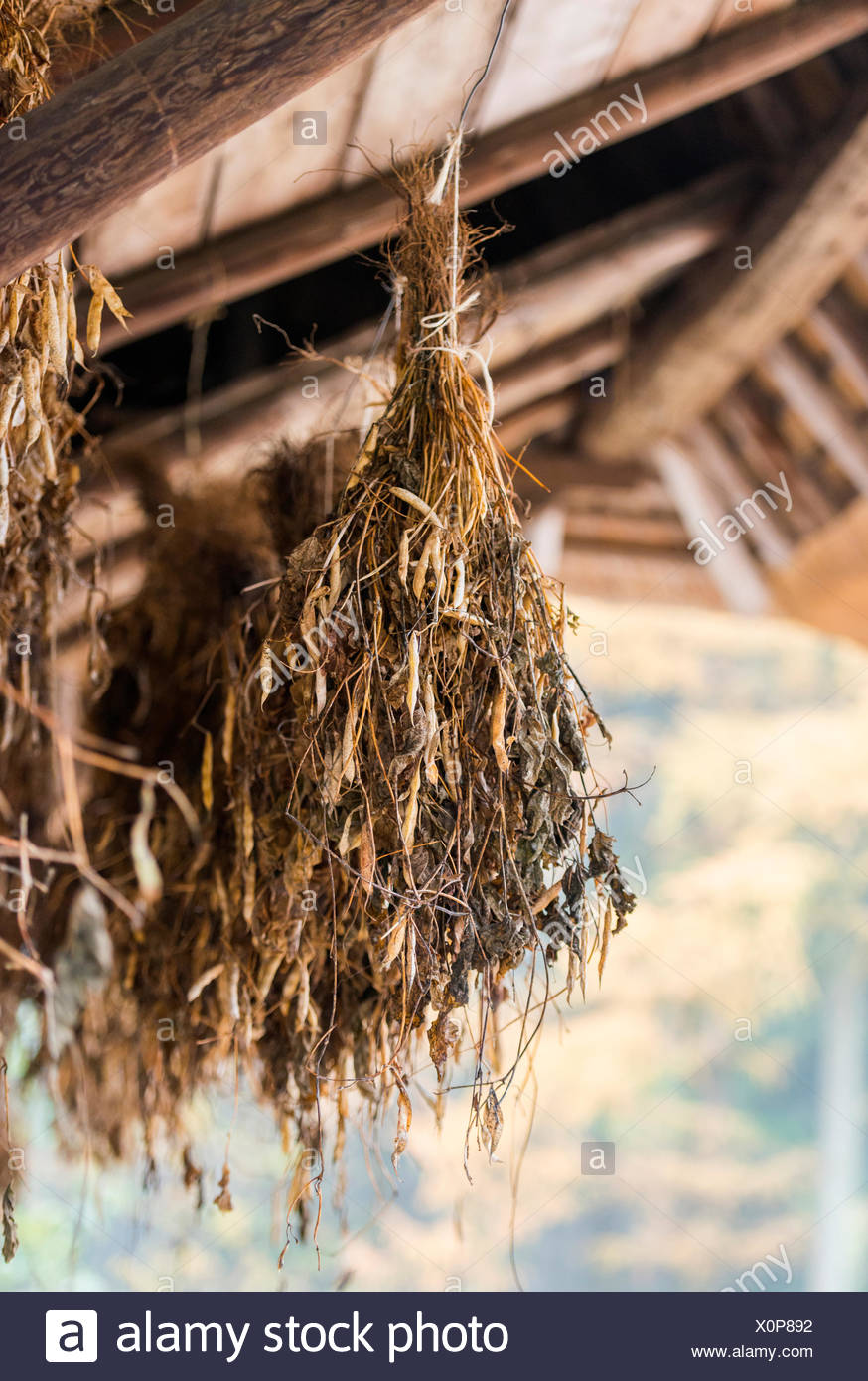 Pflanzen Trocknen kidney bohnen pflanzen hängen zum trocknen stockfoto bild