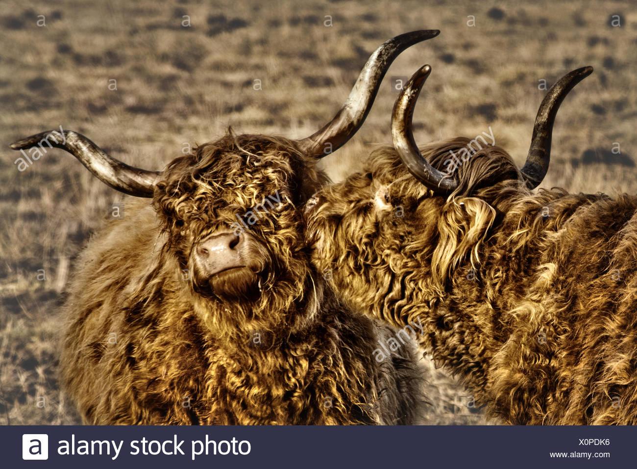 Zwei behaarte Kühe küssen Stockbild