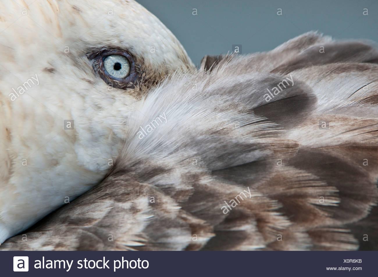 Südlichen Giant Petrel mit Bill versteckt unter seine Fittiche, Stromness, Südgeorgien, Süd-Atlantik ruhen. Stockbild