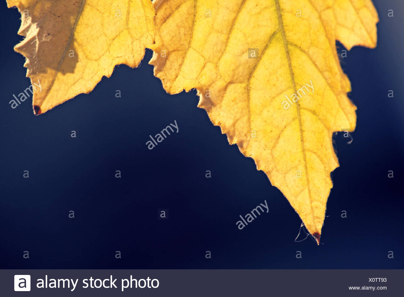 Gelbes Blatt der Luffa Aegyptiaca, aka ägyptischen Gurke Stockbild