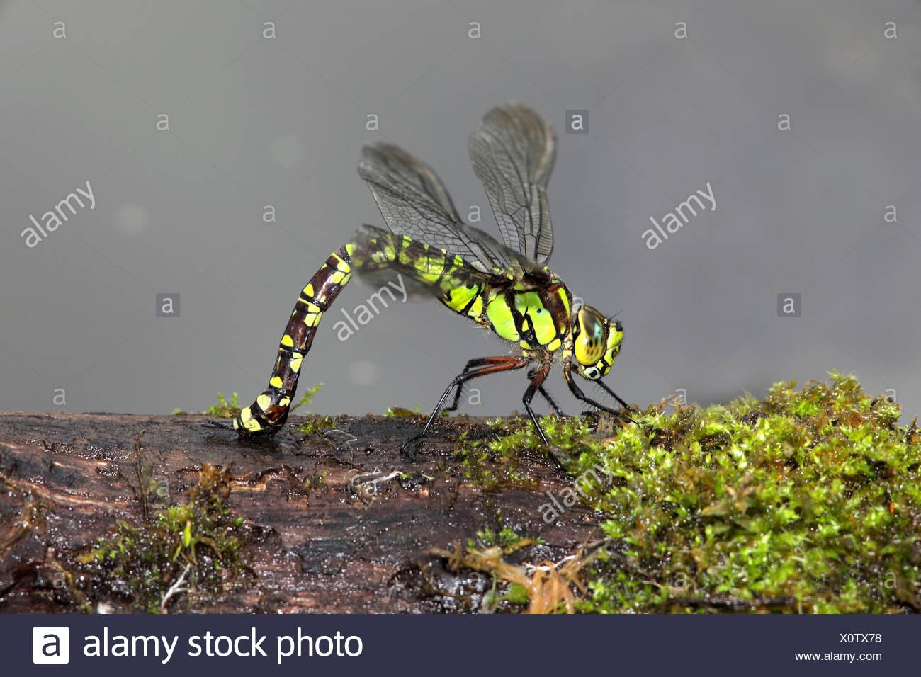 Südlichen Hawker Dragonfly - Aeshna Cyanea - Eiablage Stockbild