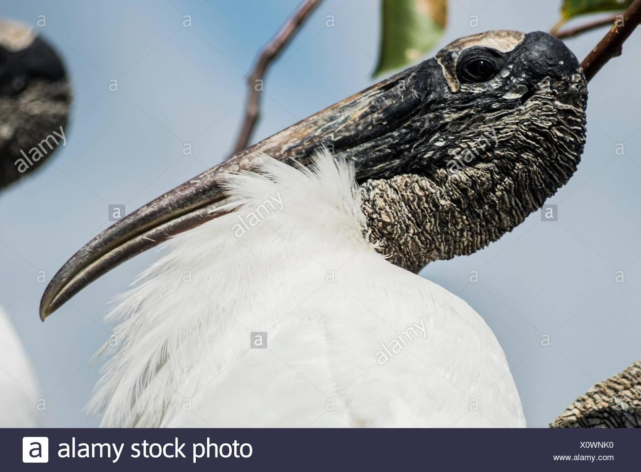 Porträt einer Holz Stork, Florida, USA. Stockbild