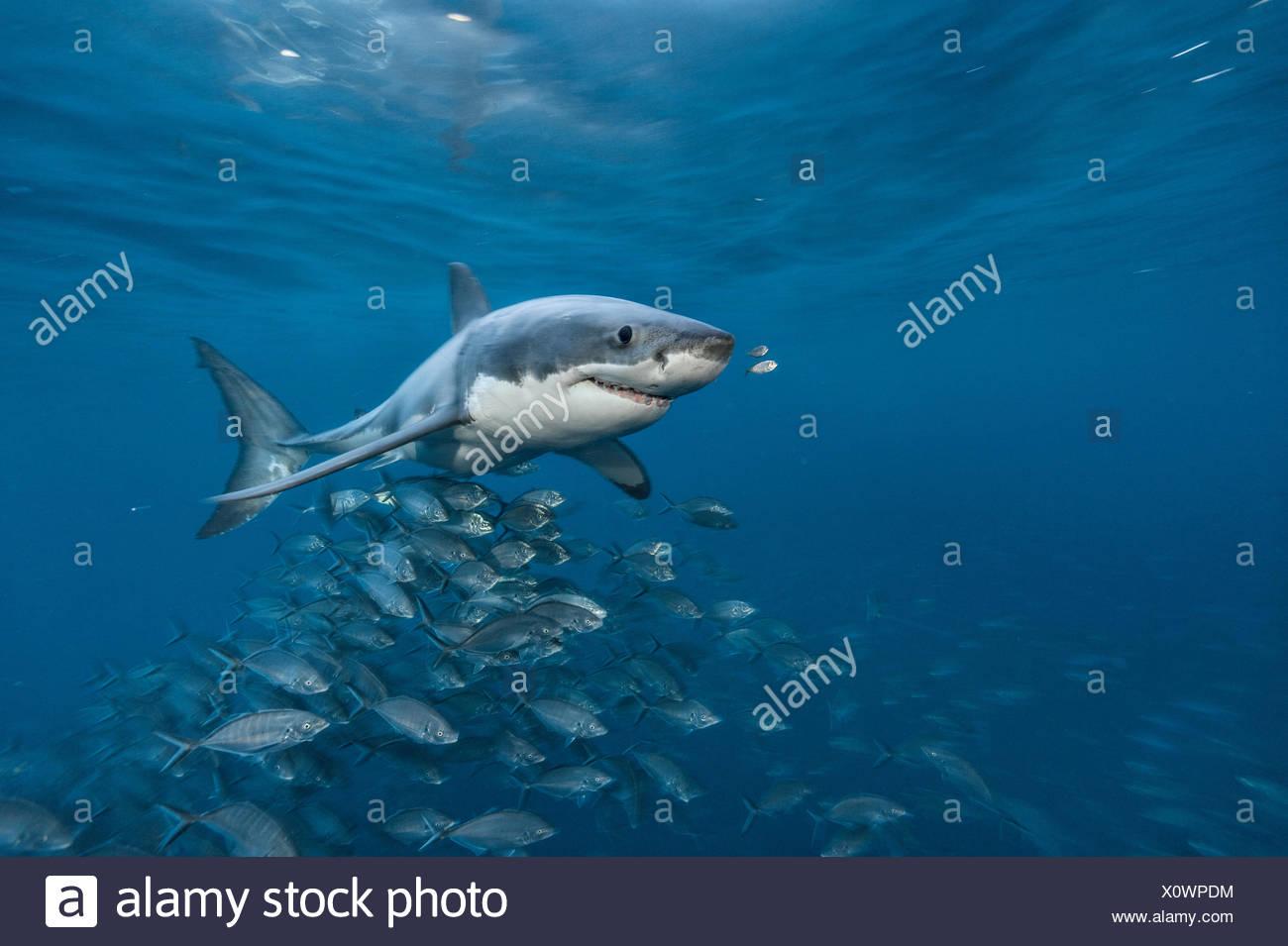 Ein großer Weißer Hai schwimmt in den Gewässern vor der Neptun Inseln. Stockbild