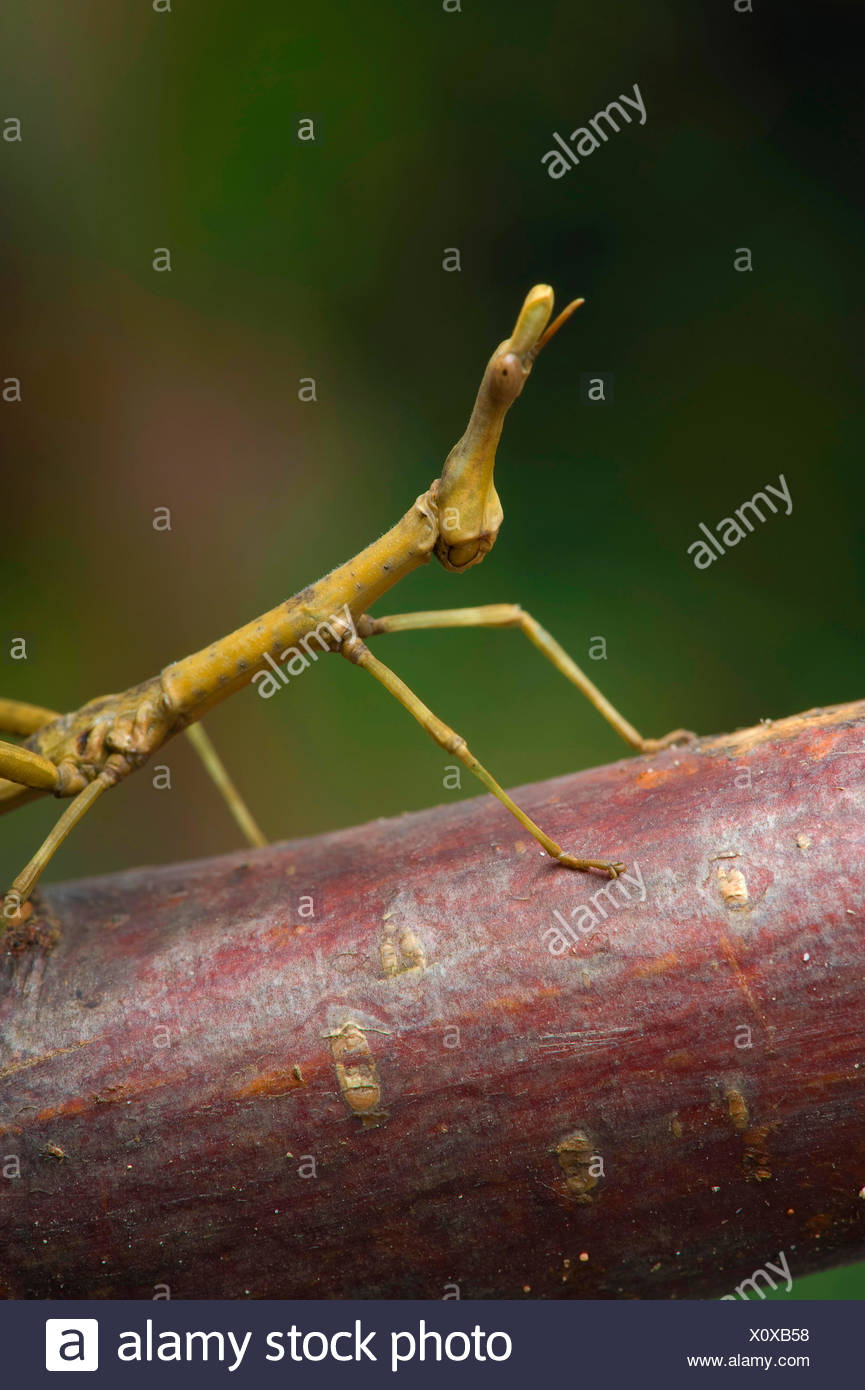 Pferdekopf Grasshopper (Prosarthria Teretrirostris), portrait Stockbild