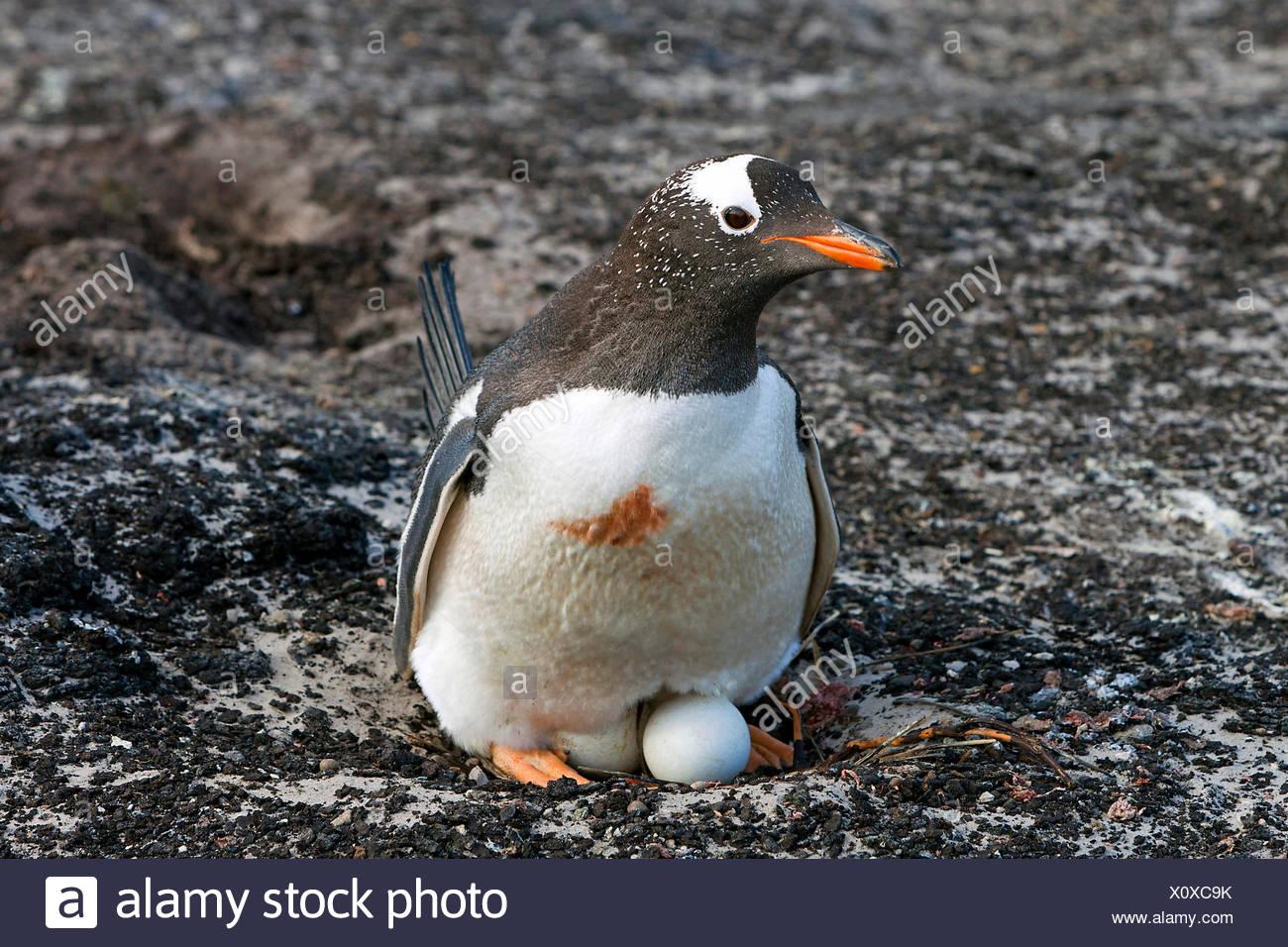 Gentoo Penguin (Pygoscelis Papua), Zucht, Antarktis, Falkland Inseln, Insel der Sirenen Stockbild