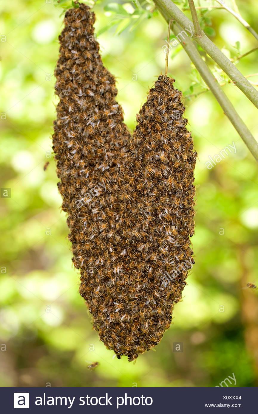 Honig-Bienen schwärmen Apis Mellifera UK Herzform von Ast im Baum hängen Stockbild