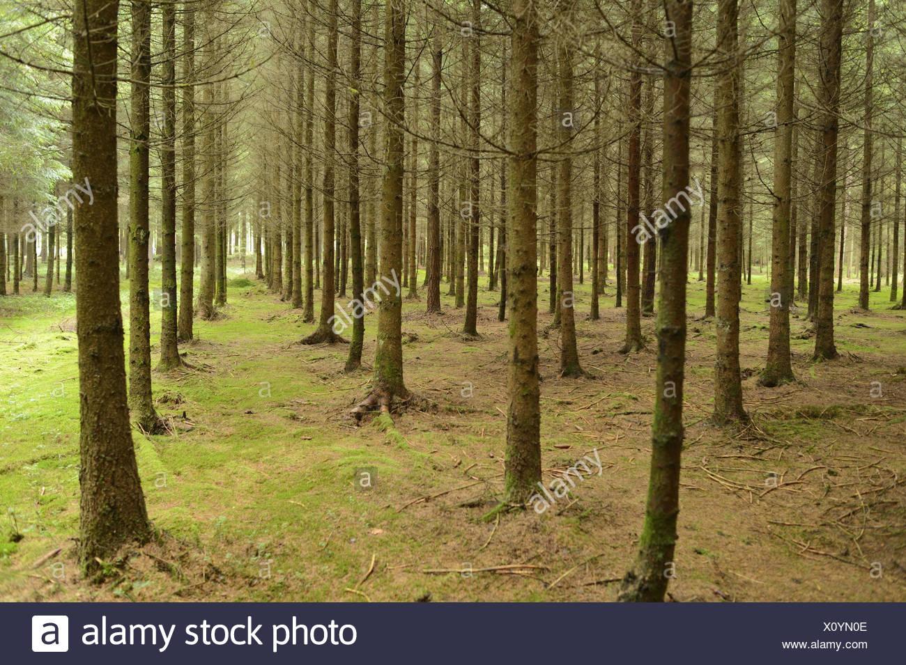 Atemberaubend Fichten Picea Abies Fichte Wald, Monokultur Stockfoto, Bild &CP_38