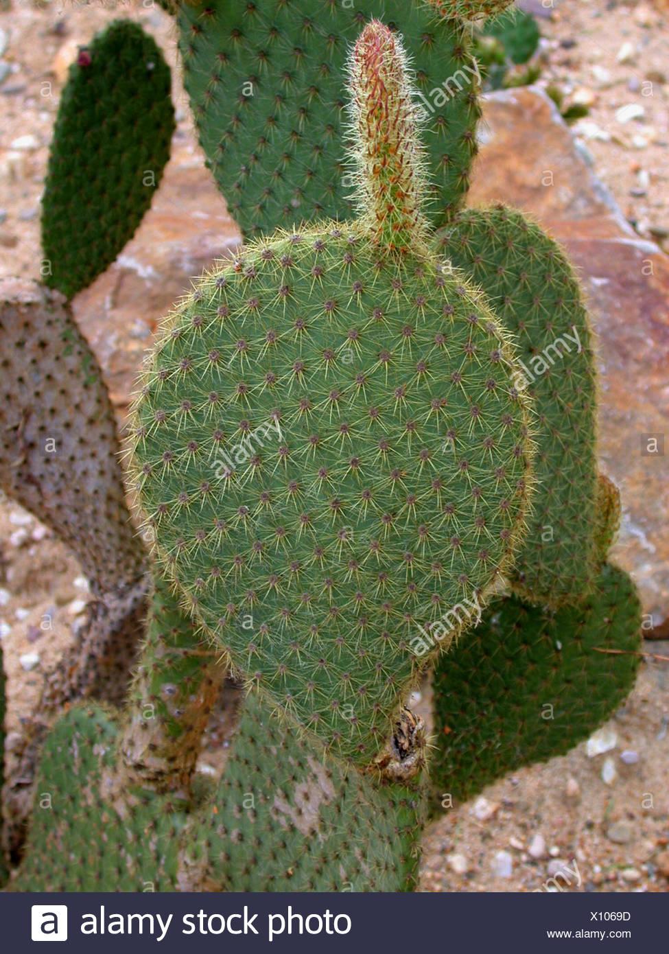 Birne Kaktus, Feigenkaktus (Opuntia Scheeri) stammen Stockfoto